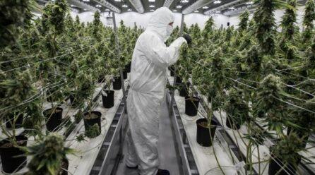 Consumo, regulación y criminalización de la marihuana 2021