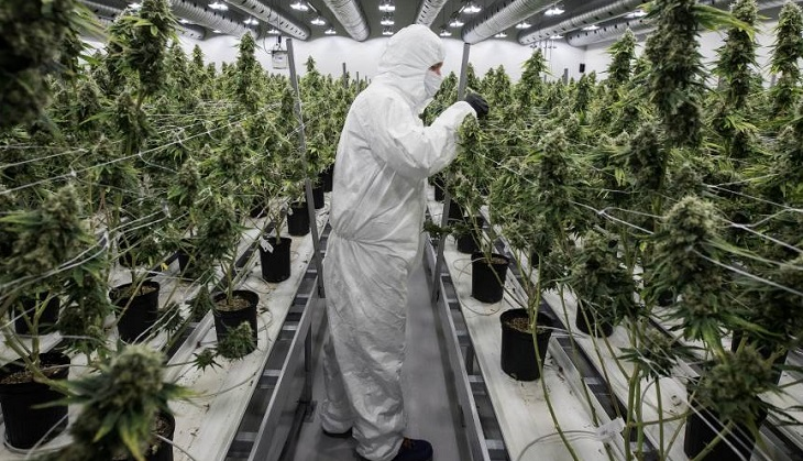 consumo regulación criminalización marihuana