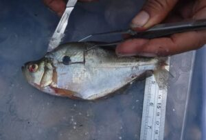 Minería ilegal oro pescado con mercurio
